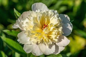 vit pionblomma i solljus foto