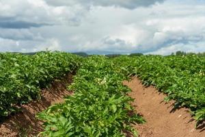 potatisfält med blommande växter foto