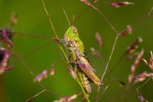 grön gräshoppa på en växt foto
