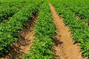 rader av potatisväxter foto