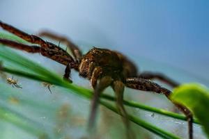 närbild av en stor kvinnlig flotte spindel i solljus foto
