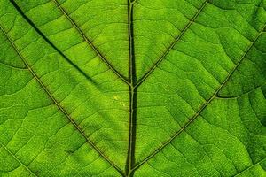 bakgrundsbelyst grönt blad foto