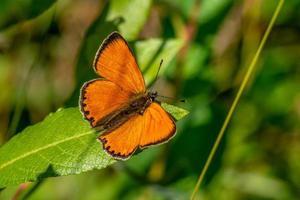 koppar fjäril sitter på ett grönt blad foto