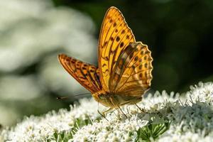 närbild av en silver tvättad fritillary fjäril på en vit blomma foto