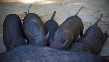 utfodring av små svarta smågrisar. foto