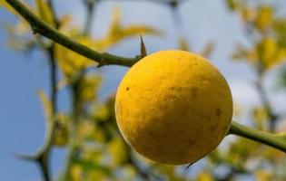 gul frukt poncirus på bakgrund av taggiga grenar och himmel. foto