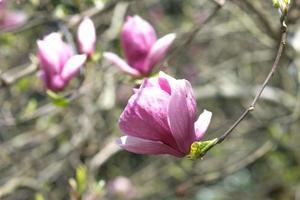 vårblommor av rosa magnolia på långa grenar på ljus bakgrund foto