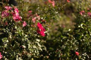 vacker rosa ros på en suddig bakgrund. foto