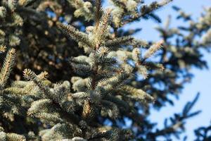 naturlig bakgrund med grenar av gran mot den blå himlen foto