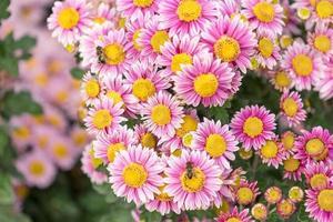 blommig bakgrund blomma rosa krysantemum i trädgårdsbädden. foto