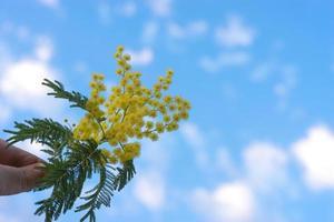 en gren med gula akaciablommor är silverig i handen foto