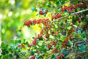 ilex aquifolium busken med ljusröda bär på suddig grön bakgrund foto