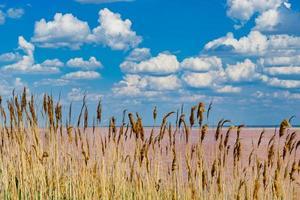 naturlandskap med vass på bakgrunden av en rosa salt sjö sivash. foto