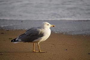 porträtt av en stor fiskmås på gul sand. foto