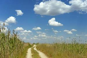 grusväg mitt i vass under den blå himlen. foto
