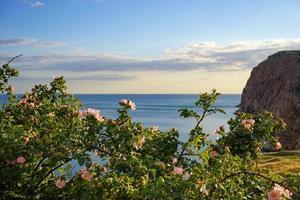 den vilda rosbusken med rosa blommor och gröna blad foto
