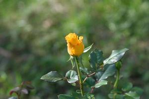 knoppgula rosor som blommar i trädgården foto