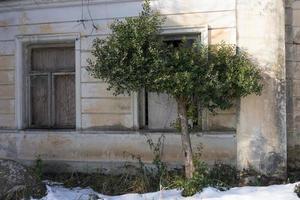 olivträd på bakgrunden av det gamla husets smutsiga väggar foto