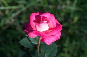 knopp vacker rosrosa färg mot den mörkgröna foto