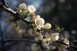 en gren med känsliga vita blommor på en mörk bakgrund foto