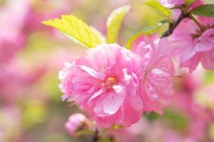makrofoto av natur rosa sakura blommor. foto
