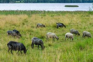 hört talas om får som betar i en grön betesmark foto