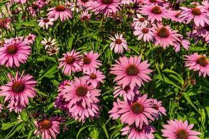 grupp av rosa coneflowers foto