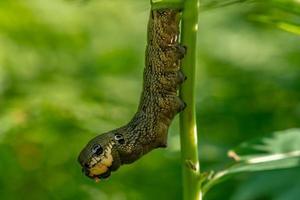 närbild av en hökmal larv på en grön gren foto