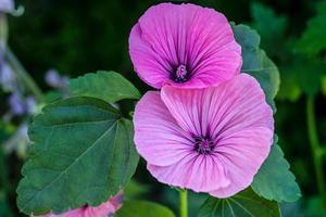 närbild av rosa kungliga malvablommor foto