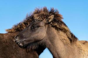 två hästar kind till kind foto