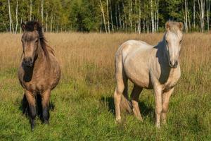 isländska hästar som står i högt gräs i en solig betesmark foto