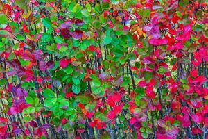 röda och gröna höstfärgade löv foto