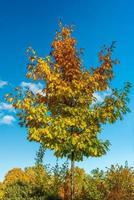 höstfärgat lönnträd mot en blå himmel foto