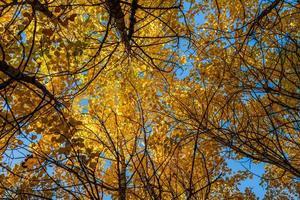sikt med låg vinkel av trädtak med levande gula löv foto