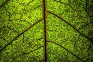 närbild av ett grönt blad med röda vener foto