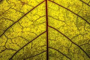 närbild av ett gult blad med röda vener foto