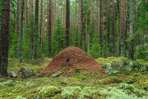 stor myrstack i en skog foto