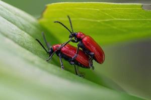 närbild av liljan skalbaggar parning på ett blad foto