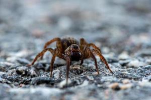 närbild av en stor spindel som kryper på marken foto
