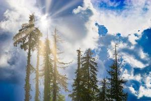 silhuetter av höga gamla granar mot en blå himmel med moln foto