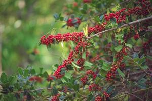 växt bakgrund av grenar och bär av järnek. foto