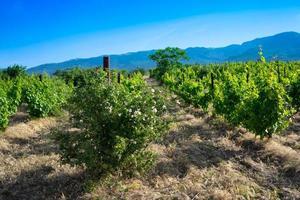 det naturliga landskapet i Krim vingårdar. foto