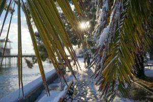 bladen på fläkten palm washingtonia med vattendroppar foto