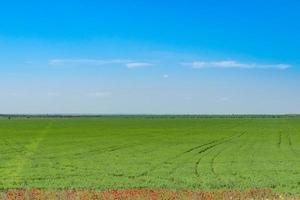naturlandskap med grönt fält, röda vallmo på kanten och blå himmel. foto