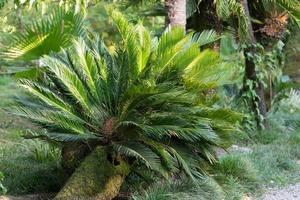 en fläktpalm på en bakgrund av grönt gräs och löv foto