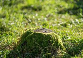 naturlig bakgrund med en gammal stubbe i mossan foto