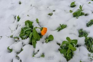 naturlig bakgrund med orange blommor i snö foto