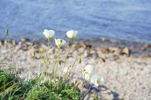 naturlandskap med vita vallmo. foto