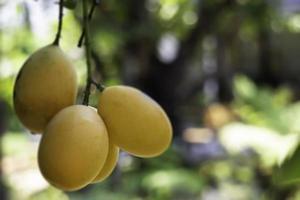 söt gul marian plommonträd foto
