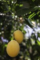 gula plommon på ett träd foto